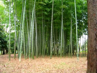 20060423-bamboo.jpg