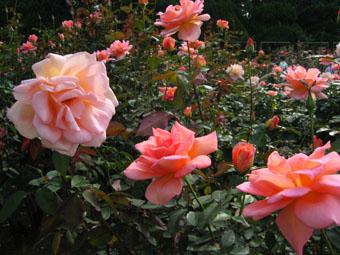 20061026-rose.jpg