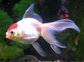 20070118-goldfish.jpg