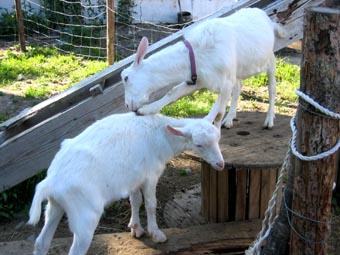 20070718-goat.jpg